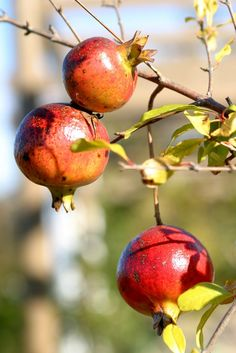 Pomegranates ♔ My Garden - I Love Flowers Watercolor Fruit, Fruit Painting, Exotic Fruit, Exotic Plants, Fruit And Veg, Fruits And Veggies, Photo Fruit, Pomegranate Art, Pomegranate Growing