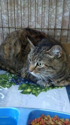 """Jacksonville, FL  OWNER SURRENDERED DECLAWED CAT IN HIGH-KILL PUTNAM CO. FL SHELTER! PLEASE RESCUE/ADOPT/FOSTER!   Came in Thursday. She is a 6yr old spayed and declawed female. Her owners said they had her for 6 years but they got a puppy a year ago and shes spent the last year under a bed. Now in a kill-shelter and will probably be added to the EU list for next Thursday if she catches the dreaded """"shelter cold"""". She is sweet, loving, spayed AND declawed someone save her!"""