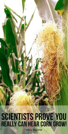 You really CAN hear the corn grow! - Acoustic study shows that corn grows taller and taller by continuously breaking and repairing, much like lifting weights causes micro-tears in the muscle. #agriculture #engineering #science #vegetables #organic