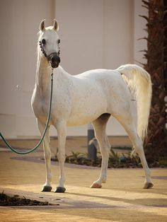 NK ZAHERAH  (SALAA EL DINE x AMARILLA) 2001 grey SE mare bred by Katherinenhof Arabians - Strain: Abayyan Om Jurays