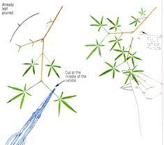 bonsai defoliation technique