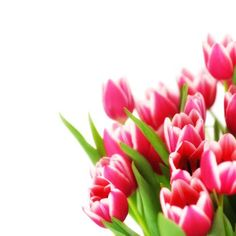 Tulips: Yellow tulips symbolize cheer; white stems convey forgiveness; purple represents royalty; and red tulips are associated with perfect love. Legend has it that the tulip's inky black center represents a lover's heart, darkened by the heat of passion.