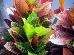 Learn what causes a croton plant to drop its leaves and how to fix it. Top croton plant care tips to keep your Codiaeum variegatum looking stunning. Monstera Deliciosa, Ficus, Croton Plant Care, Myrtle Tree, Smart Garden, Garden Guide, Plant Needs, Potting Soil, Green Rose