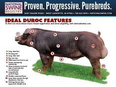 Image result for duroc hog Pig Information, Livestock Judging, Hog Farm, Pig Facts, Pig Showing, Farm Show, Pig Pen, Pig Stuff, Pig Farming