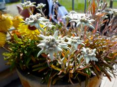 Edelweiss, Austrian Alpes Plants, Flora, Plant, Planting