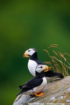 "Horn Billed Puffins (Fratercula corniculata) is an auk  These cuties are about 8"" tall and weigh 1.2oz"