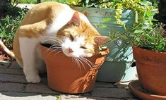 "Every cat lover knows about Catnip but here are 9 more herbs to... Improve Your Cat's Health ~ ""Herbs grow easily, are delicious, and certain plants are not only adored by your kitty, but can also be very good for her health (not to mention yours), and useful for treating certain ailments she might have."""