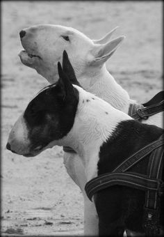 Bullterriers...one's clearly a talker and one's enduring the chatter.