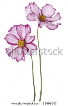 Studio Shot of  Fuchsia Colored Cosmos Flowers Isolated on White Background. Large Depth of Field (DOF). Macro. - stock photo