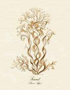 vintage natural history illustration | Vintage Natural History Art Print: Ernst Haeckel Brown Algae ...
