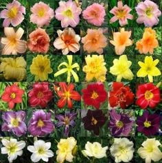 How to Plant a Daylily   In 6 easy steps!   Working in the garden is a great way to relax and enjoy the outdoors. Planting daylilies or any other plant shouldn't be stressful or a confusing tas...