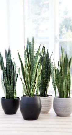 Easy and Fun Tips for Designing Your Indoor Garden living room - Having indoor plant decor may also Succulent Gardening, Planting Succulents, Planting Flowers, Organic Gardening, Indoor Garden, Indoor Plants, Porch Plants, Sansevieria Plant, Sansevieria Trifasciata