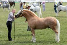 Ceulan Calon Lan, Welsh Mountain stallion photographed in Royal Welsh Show 2013