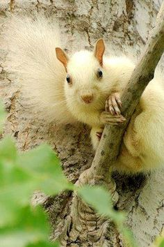A Yellow Squirrel,
