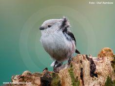 Federbälle im Geäst - Die Schwanzmeise im Wintervögelporträt - https://www.nabu.de/tiere-und-pflanzen/aktionen-und-projekte/stunde-der-wintervoegel/vogelportraets/13056.html