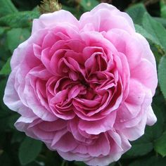 Marechal Davoust - Roses/All at the Wairere Nursery Online Shop