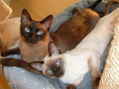 Tonkinese cat pretty kitties#Repin By:Pinterest++ for iPad#