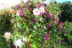 Rosa 'Compassion' and Clematis viticella 'Etoile Violette'