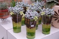 UChoose 6 pack Gaggle of Hens and Chick Plants  by sosucculent, $18.00