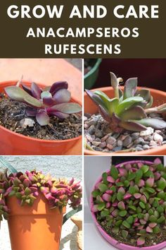 Learn how to grow and care for the anacampseros rufescens. Types Of Succulents, Succulent Care, Green, Plants, Plant, Planets