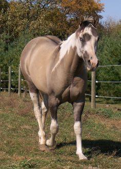 buckskin paint horses for sale Most Beautiful Horses, All The Pretty Horses, Animals Beautiful, Cute Horses, Horse Love, Gray Horse, Paint Horses For Sale, Zebras, Cheval Pie