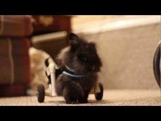 Entrañable #video de un #conejo al que le han amputado las patitas de atrás y se desplaza con un carrito como si nada. ¡Monísimo!