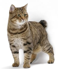 Bob Cat Kitten American bobtail - Similar to wild cats, the American Bobtail cat has a unique and wild appearance but they are extremely intelligent and loving cat breeds. Fluffy Cat Breeds, American Bobtail Cat, American Wirehair, Cat Exercise Wheel, Cat Anatomy, Cat Reference, White Cats, Domestic Cat, I Love Cats