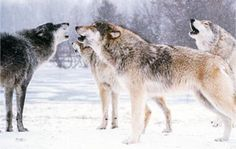 Howl with them at Wolf Park. Beautiful Wolves, Animals Beautiful, Beautiful Dogs, Wolf Love, Bad Wolf, Wolf Quotes, Howl At The Moon, Wolf Pictures, Wolf Howling