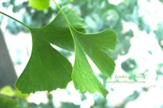 Ginko und Eukalyptus im Topf Cannabis, Plant Leaves, Blog, Plants, Garden, Potted Trees, Pranks, Decorating Ideas, Flowers