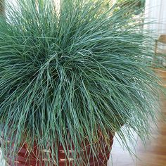 Festuca 'Beyond Blue' is one of the bluest grasses you can grow. It maintains its color throughout the season, even during dry periods when other festuca grass will turn brown. Thrives in hot, dry locations with poor soil. Also develops graceful flower stalks in early summer. Short stature. Makes a great container plant. Sun, partial sun 4–8 inches tall, 8–12 inches wide Zones: 4–8 Source: Skagit Gardens