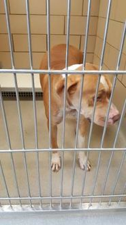 Mesquite, TX - American Pit Bull Terrier Mix. Meet SAMPSON, a dog for adoption. http://www.adoptapet.com/pet/18651184-mesquite-texas-american-pit-bull-terrier-mix he's a sweet heart