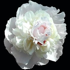 Peony Couronne D'Or