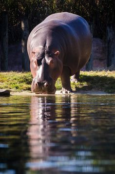 Hippo by whisperwolf on Flickr.
