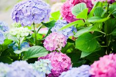 How To Change The Colours Of Your Hydrangea Flowers =)