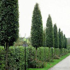 Zuilvormige bomen voor in de tuin - soorten bomen voor kleine of smalle tuinen in zuilvorm of als zuil