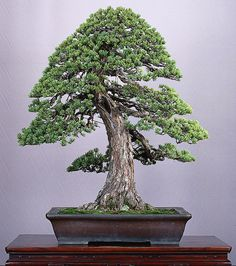 50 Best Bonsai Indoor Trees Ideas For Indoor Decorations Pine Bonsai, Juniper Bonsai, Bonsai Plants, Bonsai Garden, Conifer Trees, Deciduous Trees, Plantas Bonsai, Bonsai Styles, Indoor Trees