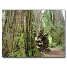 ==>Discount          	Redwood Tree postcards Big California Redwoods           	Redwood Tree postcards Big California Redwoods We provide you all shopping site and all informations in our go to store link. You will see low prices onReview          	Redwood Tree postcards Big California Redwood...Cleck Hot Deals >>> http://www.zazzle.com/redwood_tree_postcards_big_california_redwoods-239957068001993723?rf=238627982471231924&zbar=1&tc=terrest