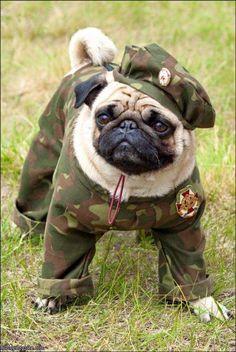 Thank you to those who serve! #HappyVeteransDay #pugrescue #rescue #adopt #dontshopadopt #pughugsandkisses