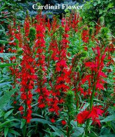 Cardinal Flower Seeds  --  200  + seeds  +  FREE SHIPPING ~