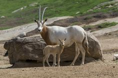 Scimitar-horned oryx are all but extinct in the #wild, yet they are one of the most common antelope species in zoos.