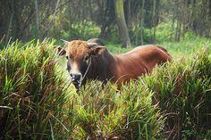 牛ばかりいる台湾の孤島・金門島 / 牛による牛のためのモーモーパラダイスだったことが判明