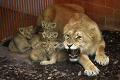 Shirwane, an Indian Lion, growls as her six-week-old cubs are approached at the Budapest Zoo