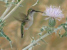A Calliope hummingbird, a favorite of vigilant birders, in northwest Colorado's Moffat County