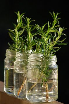 Rosemary from cuttings & honey instead of hormonal rooting powder/gel.