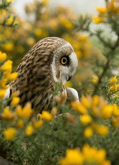 METAL FRIDGE MAGNET Northern Long Eared Owl aka Long Eared Owl On Dead Tree Bird