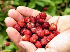 Fragolina di Sciacca e Ribera. Aromatica e molto profumata, dai frutti globosi, piccolini e di colore rosso intenso. Presidio Slow Food.