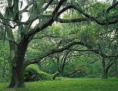 This was a surprising and beautiful park south of Houston, TX.  The live oak and spanish moss make it a surreal getaway so close to the mass of pavement and concrete in the city.