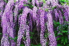 Come coltivare il glicine in giardino o in vaso sul balcone (Foto)