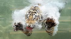 A Bengal Tiger named Akasha dives into the water after a piece of meat at Six Flags Discovery Kingdom