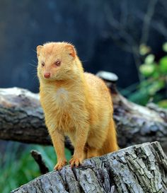 The slender mongoose (Galerella sanguinea) is a very common species of mongoose of sub-Saharan Africa. Shown here in the Prague Zoo, Czech Republic. Rare Animals, Animals Images, Animal Pictures, Wild Animals, Exotic Animals, Strange Animals, Unusual Animals, Beautiful Creatures, Animals Beautiful